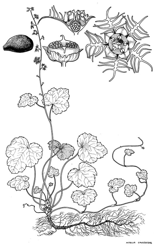 Botanical illustration by Ilgvars Steins